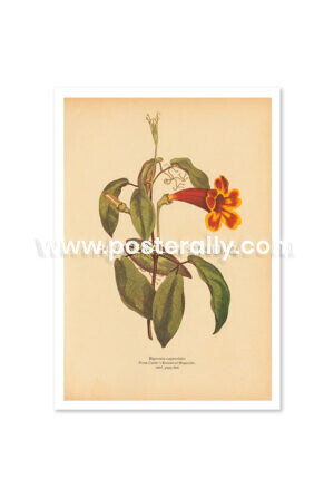 Shop Vintage Botanical Prints - Bignonia Capreolata or Crossvine. Bring your walls to life with vintage botanical prints for home and commercial decor.