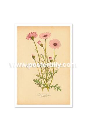 Shop Vintage Botanical Prints - Chrysanthemum Mawii or Chrysanths. Bring your walls to life with vintage botanical prints for home and commercial decor.