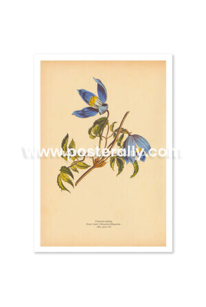 Shop Vintage Botanical Prints - Clematis Alpina or Alpine Clematis. Bring your walls to life with vintage botanical prints for home and commercial decor.