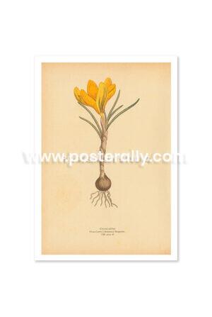 Shop Vintage Botanical Prints - Crocus Aerius. Buy botanical prints and other prints and posters for home and commercial decor.