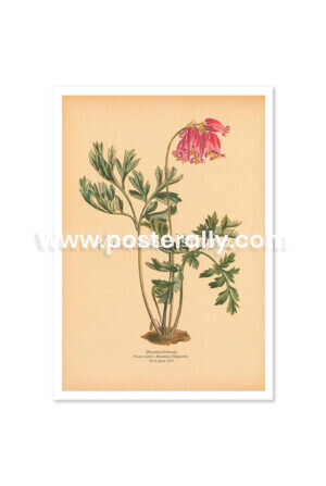 Shop Vintage Botanical Prints - Dicentra Formosa or Pacific Bleeding Heart. Buy botanical prints and other prints and posters for home and commercial decor.