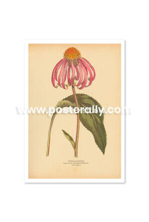 Shop Vintage Botanical Prints - Echinacea Purpurea or Purple Coneflower. Buy botanical prints and other prints and posters for home and commercial decor.