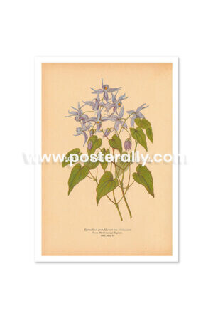 Shop Vintage Botanical Prints - Epimedium Grandiflorum or Barrenwort. Buy botanical prints and other prints and posters for home and commercial decor.