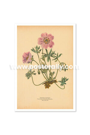 Shop Vintage Botanical Prints - Geranium Argenteum or Silvery Crane's Bill. Buy botanical prints and other prints and posters for home and commercial decor.